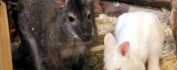 В Новосибирском контактном зоопарке выбрали имя кенгуренку-альбиносу