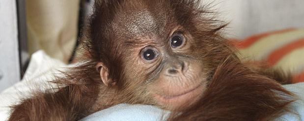 Спасенный детским нейрохирургом малыш орангутана поправляется